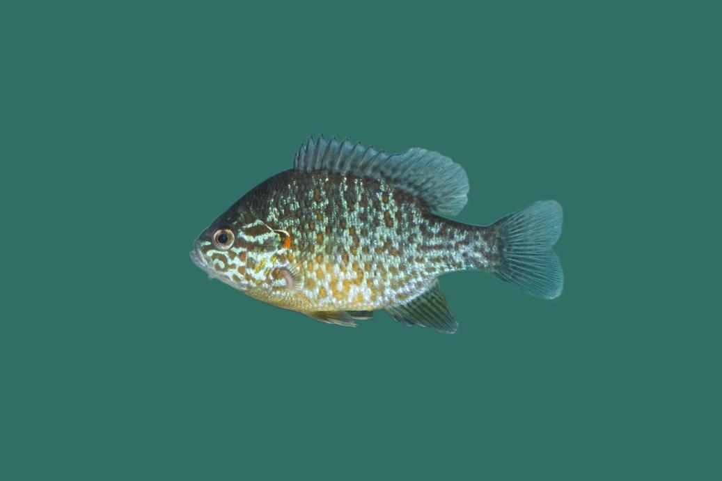Gemeiner sonnenbarsch lepomis gibbosus teichfische online for Kleine teichfische