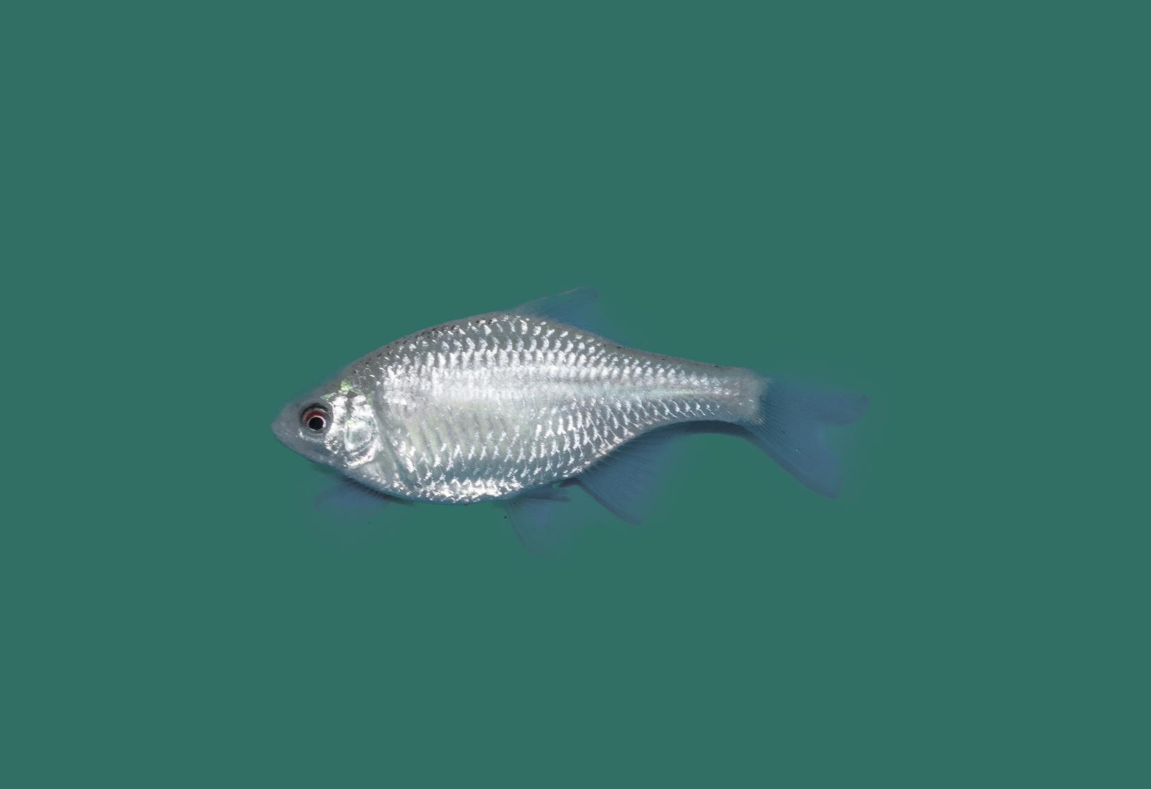 Bitterling rhodeus amarus teichfische online for Teichfische versand