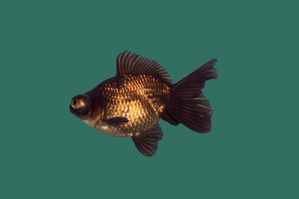 Schleierschwanz balckmoor carassius auratus teichfische for Teichfische versand