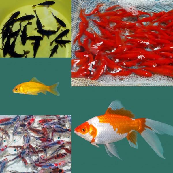 Goldfische kaufen bei Teichfische online