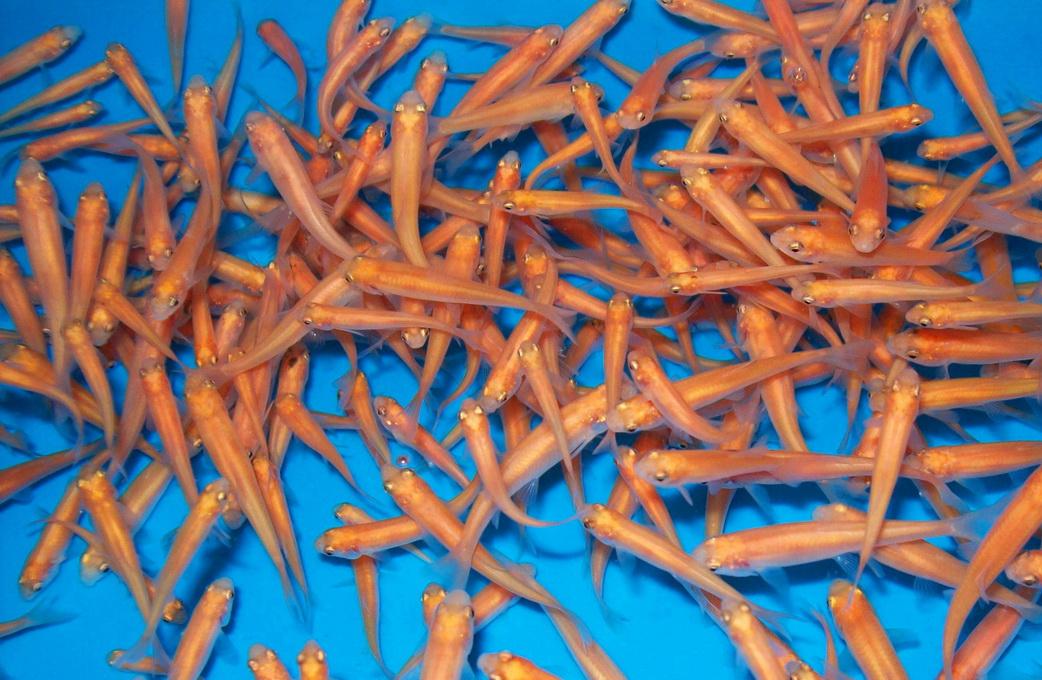 Goldelritze fathead minnow fatheadminnow pimephales for Teichfische versand