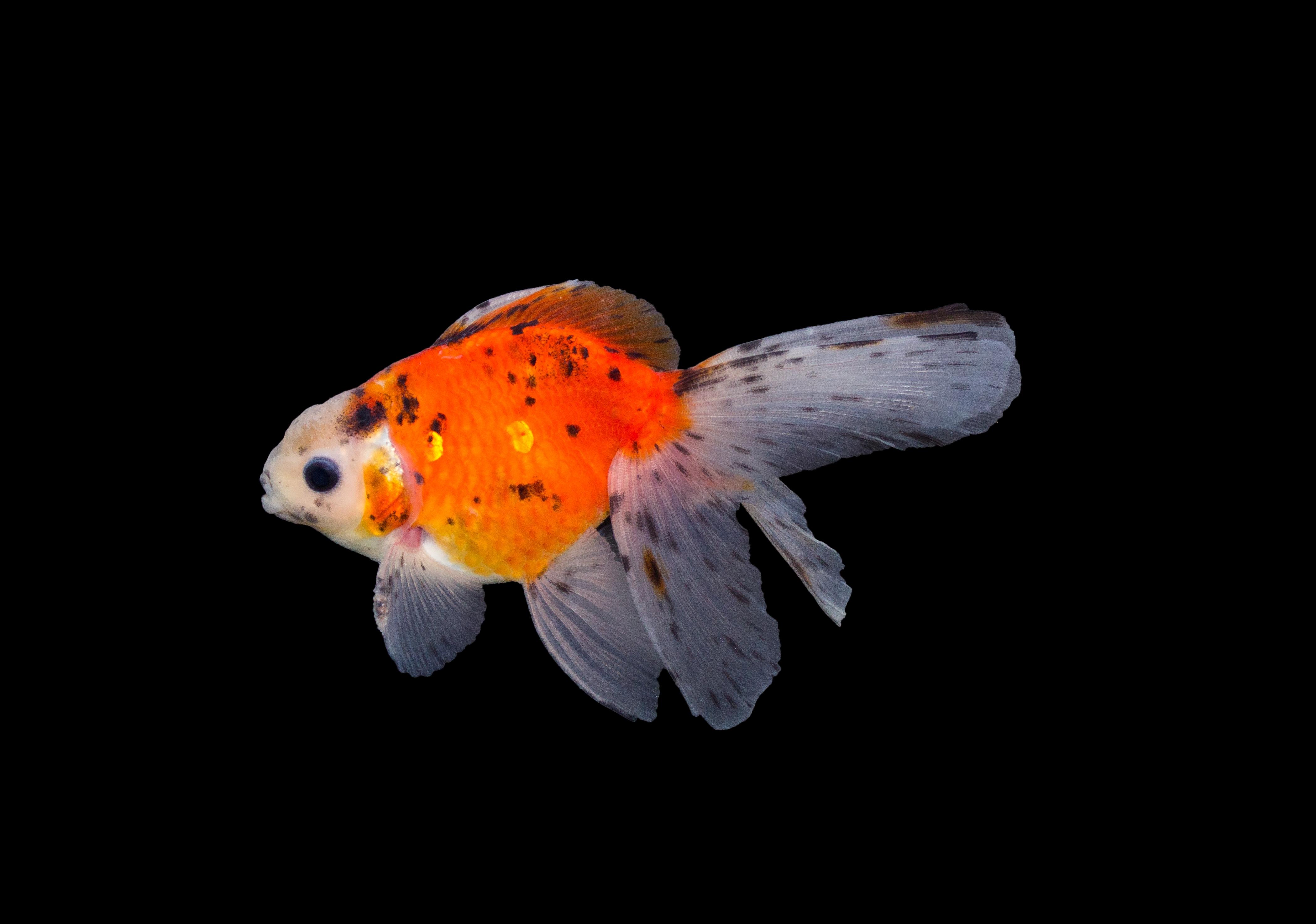 Schleierschwanz balckmoor carassius auratus teichfische for Teichfische algenfresser