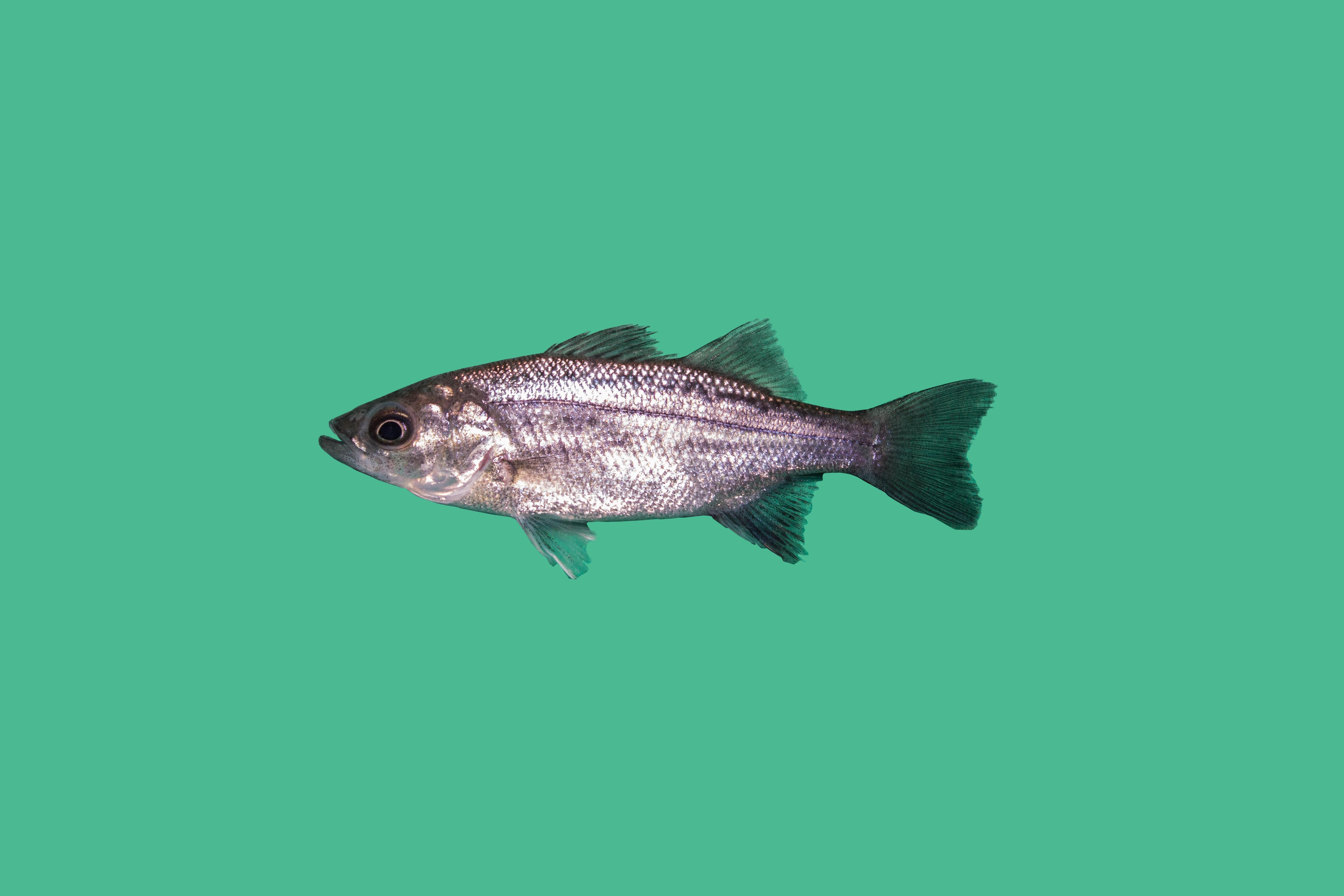 Raubfische Teichfische Teichfische Online