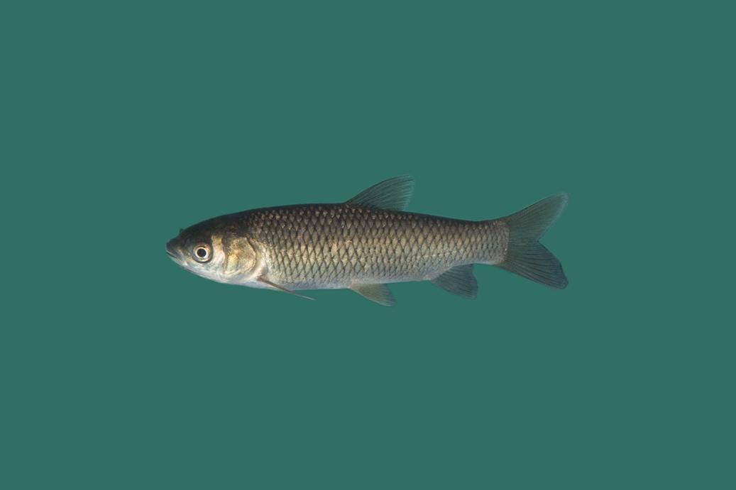 Graskarpfen wei er amur teichfische online for Teichfische versand