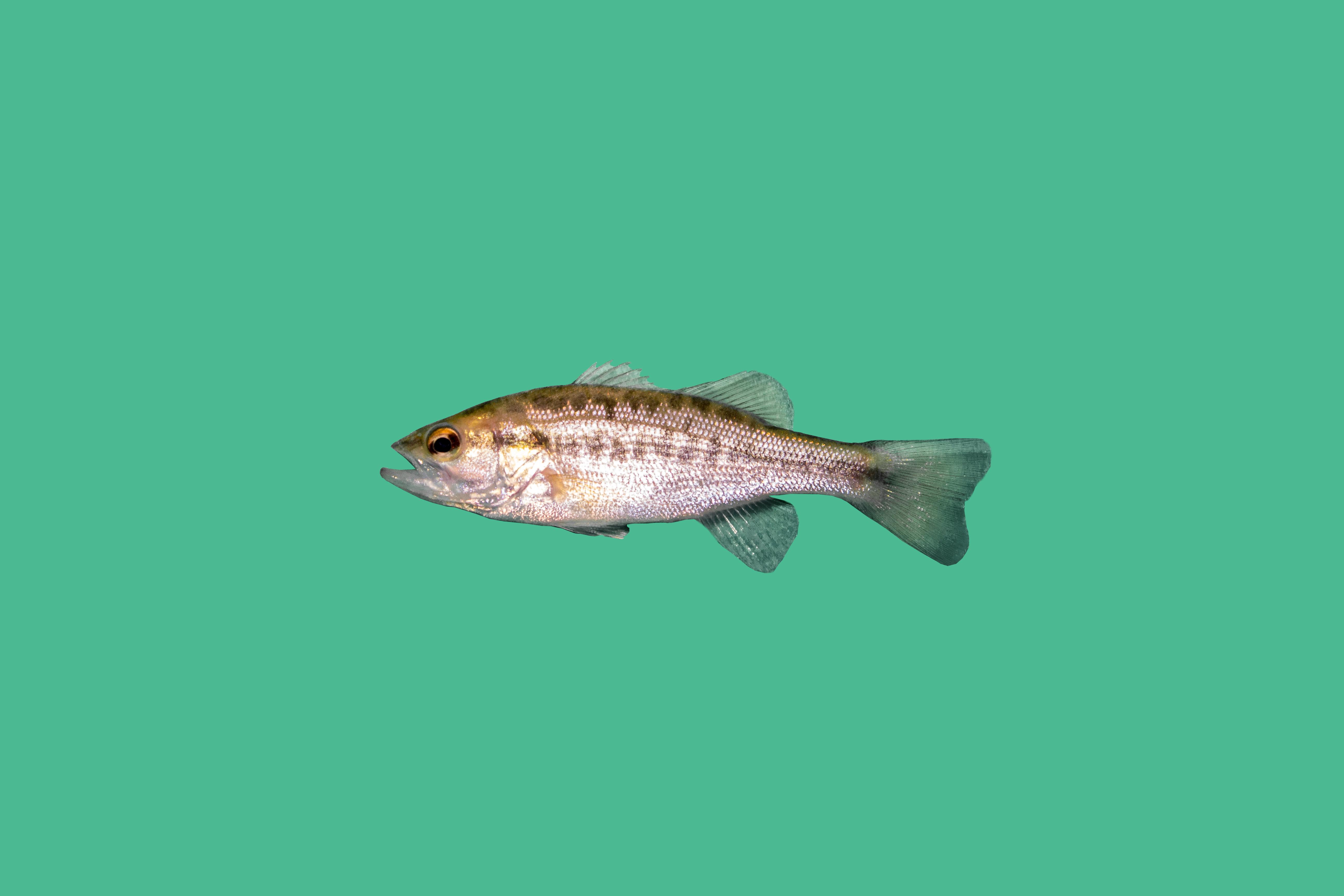 Forellenbarsch teichfische teichfische online for Teichfische versand
