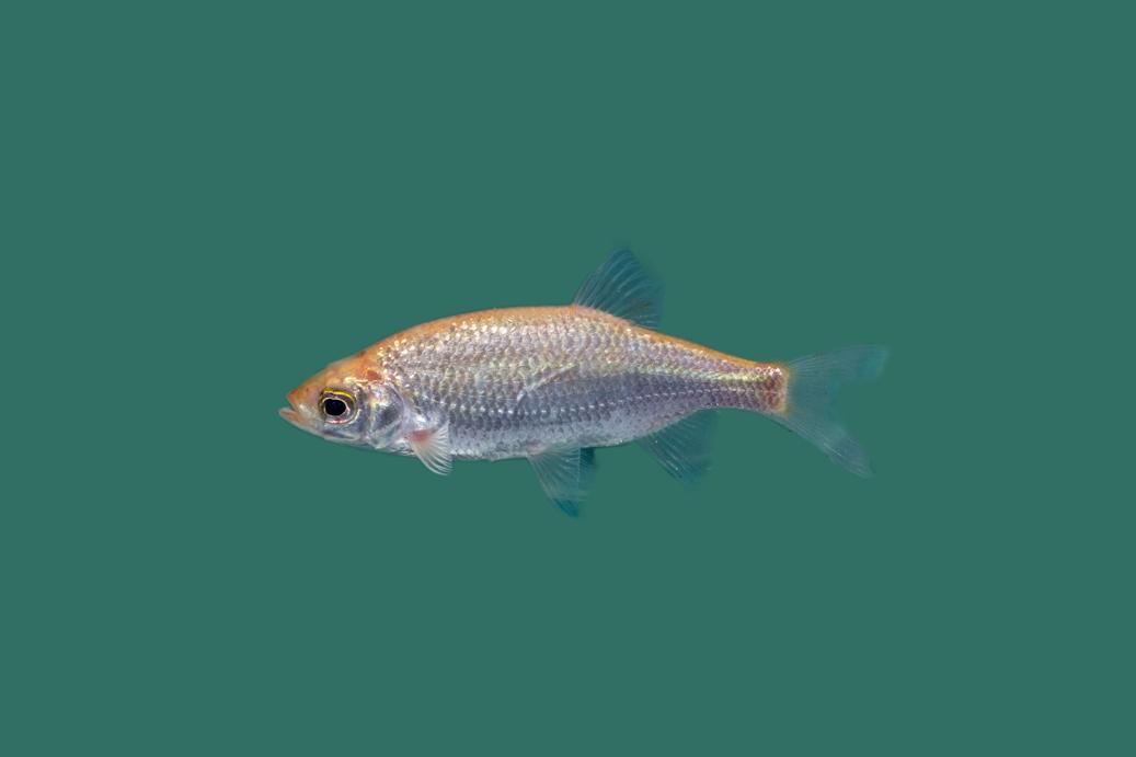 Bitterling rhodeus amarus goldbitterling teichfische for Teichfische algenfresser