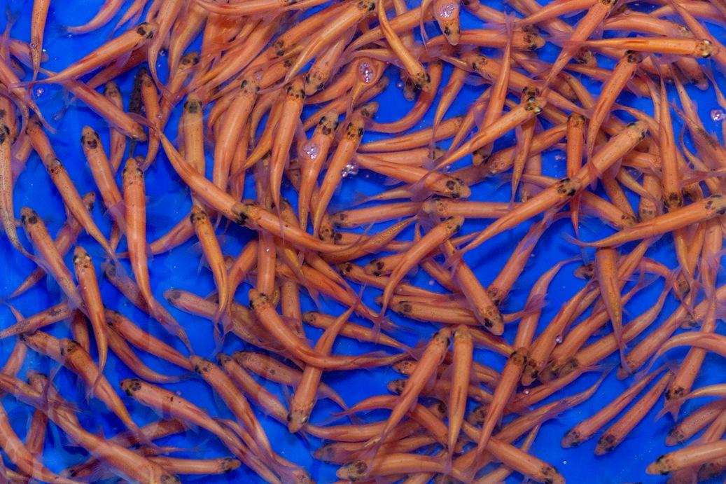 Goldorfe leuciscus idus teichfische online for Teichfische versand