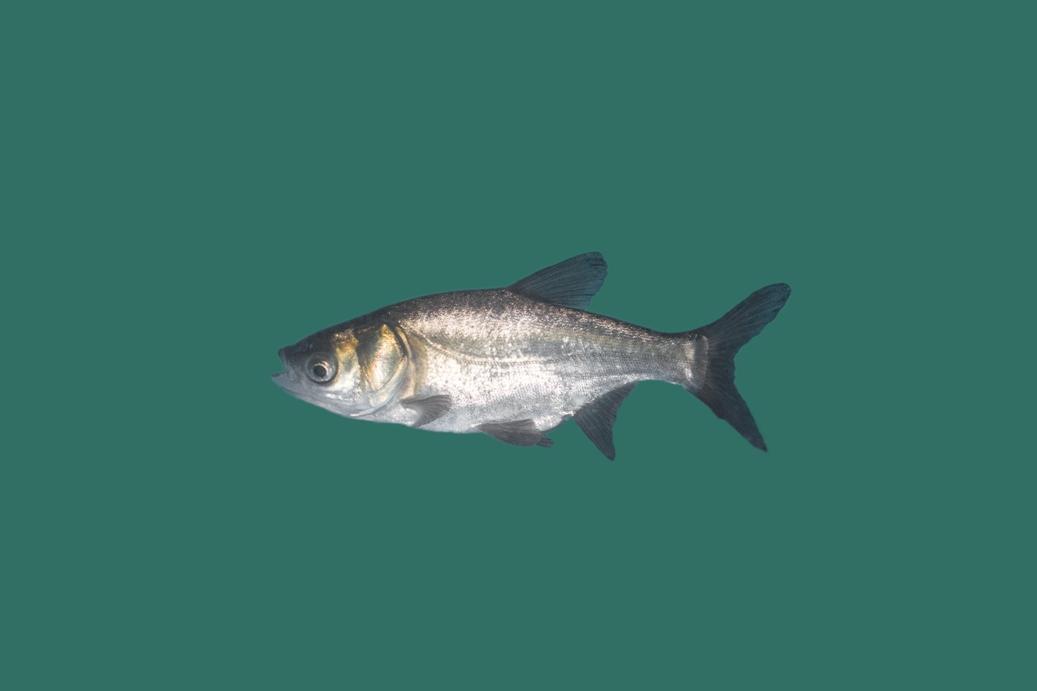 Silberkarpfen hypophthalmichthys molitrix teichfische for Teichfische versand