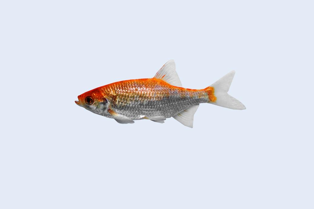 Besatzfische teichfische teichfische online for Teichfische versand