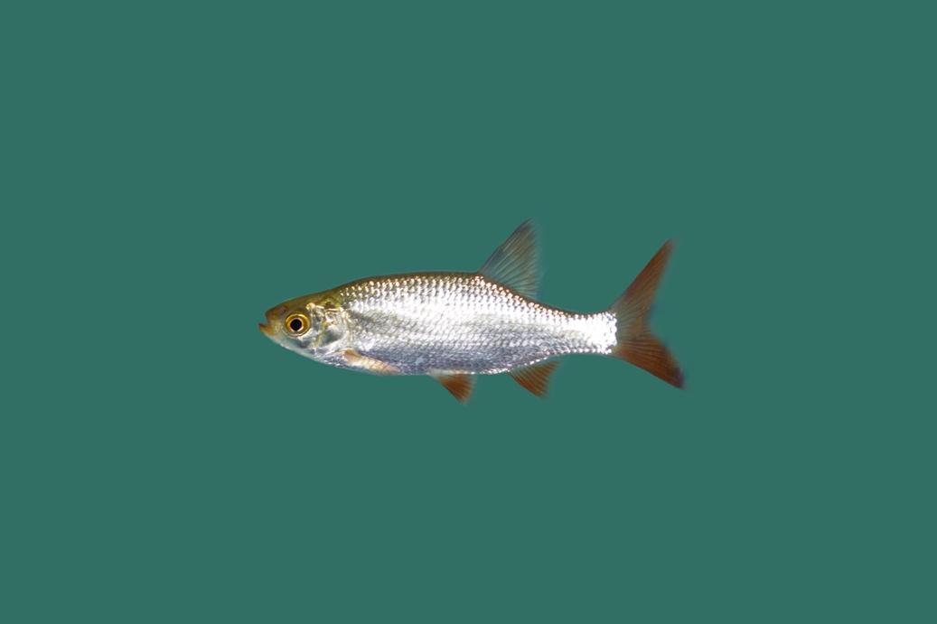 Rotfeder scardinius erythrophthalmus teichfische online for Teichfische versand