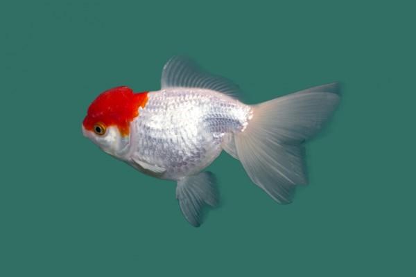 Schleierschwanz red cap carassius auratus teichfische for Kleine teichfische