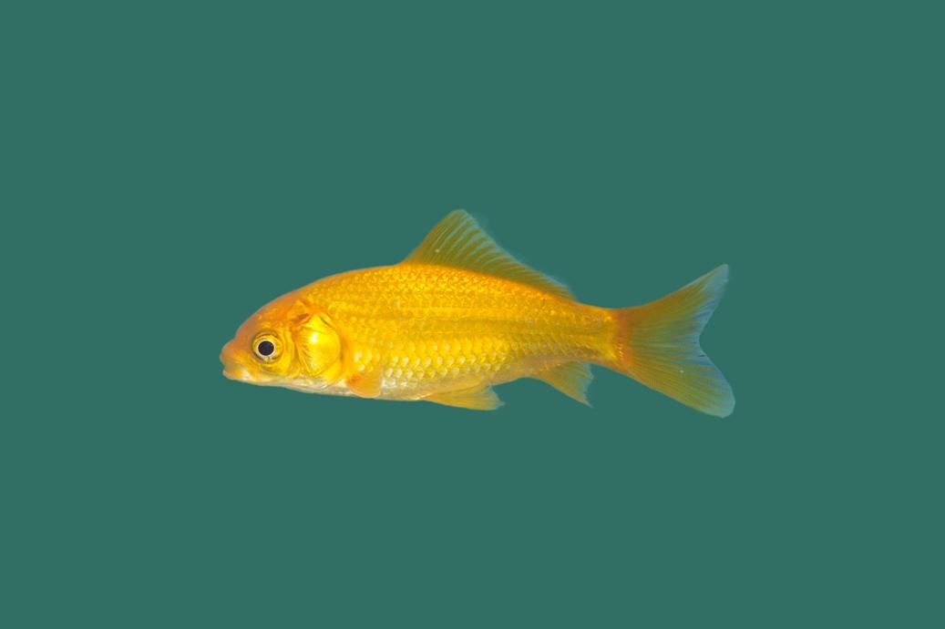 Gelber goldfisch carassius auratus teichfische online for Teichfische versand