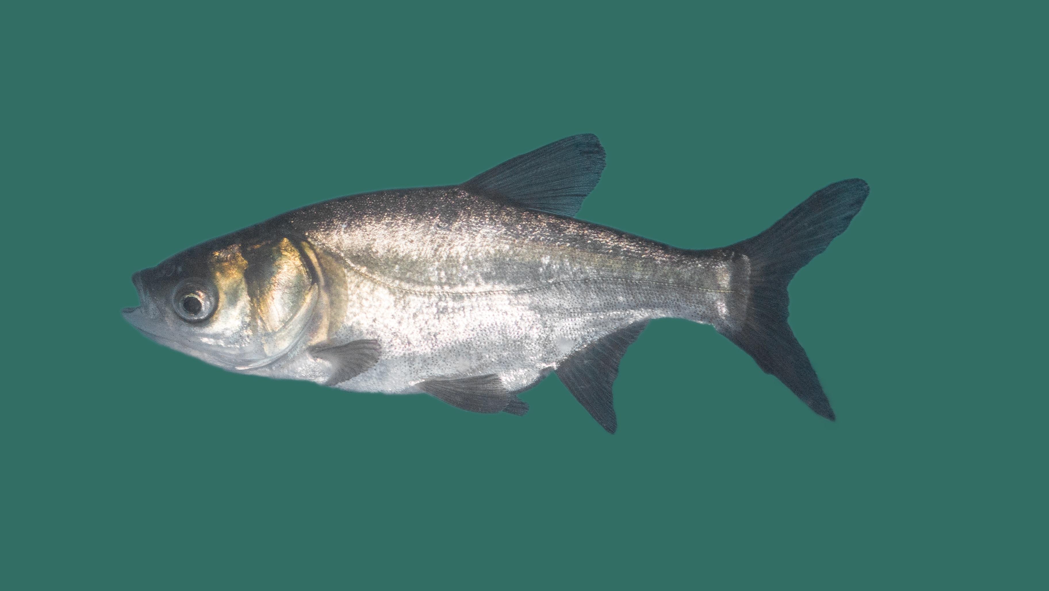 Silberkarpfen hypophthalmichthys molitrix teichfische for Teichfische algenfresser