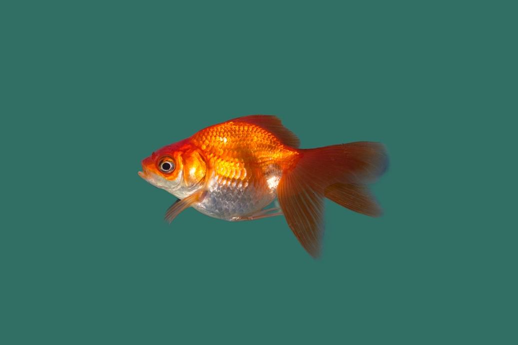 Schleierschwanz rot carassius auratus teichfische online for Teichfische versand