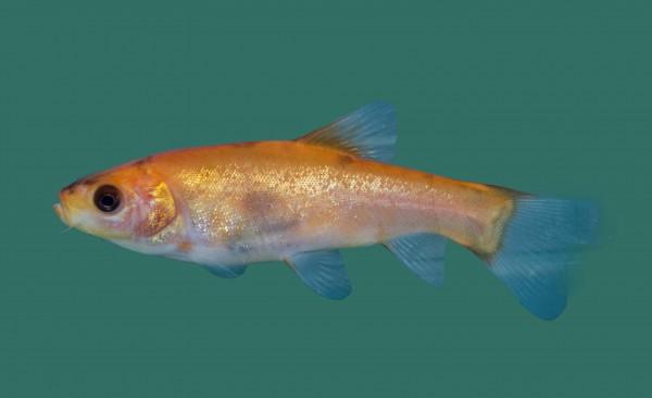 Goldschleie kaufen - Teichfische