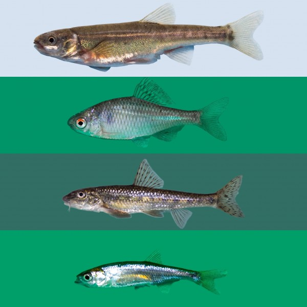 """Biotopfisch Mix 25 Fische """"frachtfrei"""""""