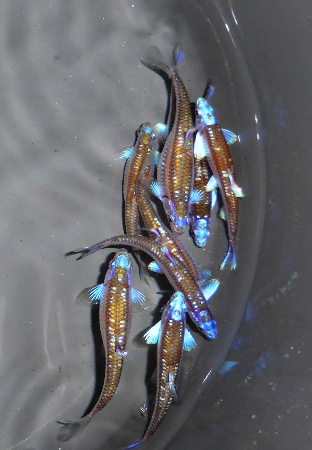 Regenbogenelritze rainbow shiner notropis chrosomus for Teichfische versand