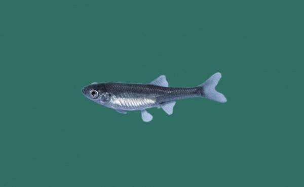 Moderlieschen leucaspius delineatus teichfische online for Teichfische versand