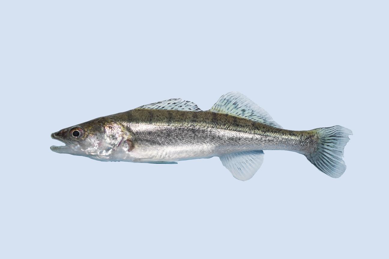 Zander teichfische online for Teichfische versand