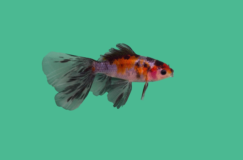 Bristol goldfisch teichfische online for Teichfische shubunkin