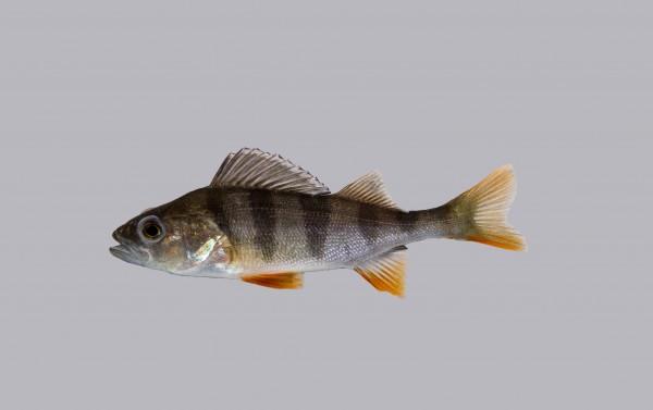 Flussbarsch besatzfische teichfische teichfische online for Teichfische versand