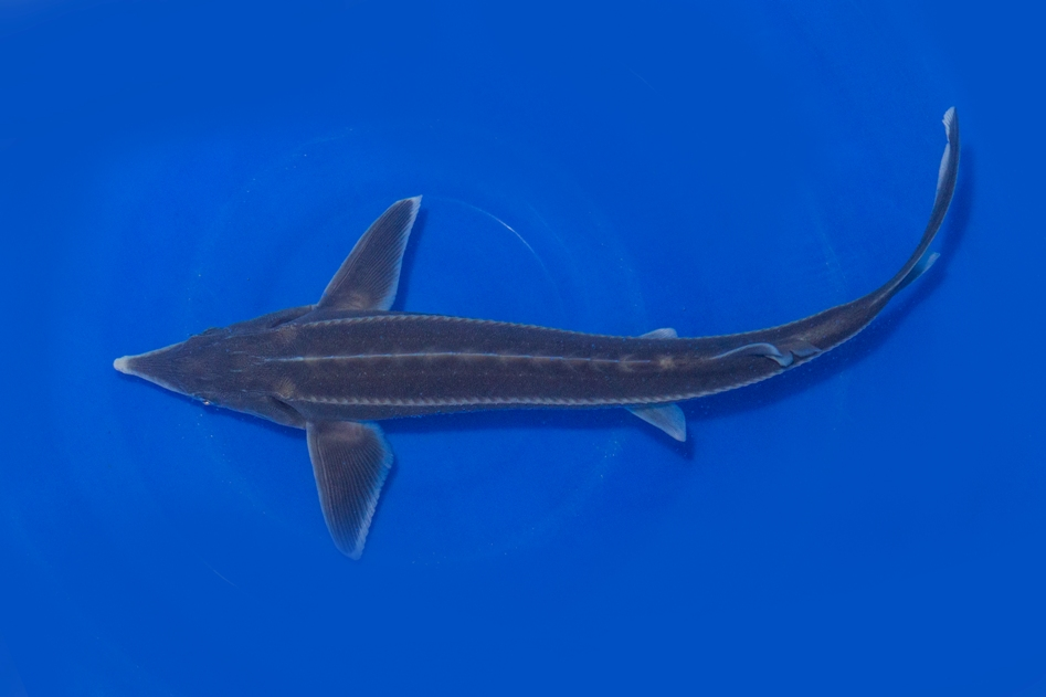 Sterlet acipenser ruthenus teichfische online for Teichfische versand