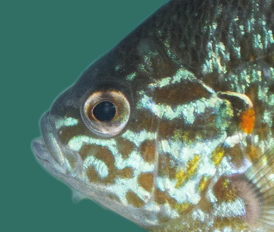Gemeiner sonnenbarsch lepomis gibbosus teichfische online for Teichfische algenfresser