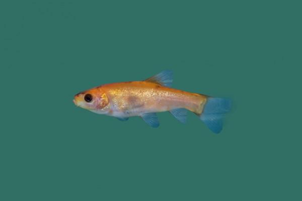 Schleie gr nschleie tinca tinca goldschleie for Teichfische versand