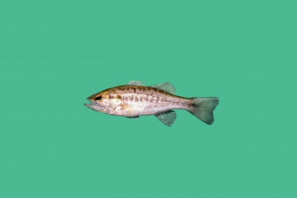 Forellenbarsch besatzfische teichfische teichfische for Teichfische versand