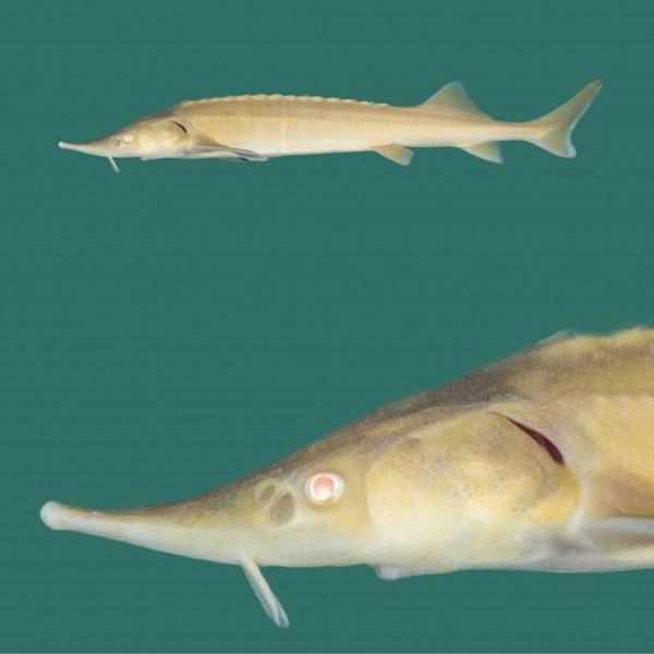 """3x Albino Sterlet 15-20cm """"frachtfrei"""""""