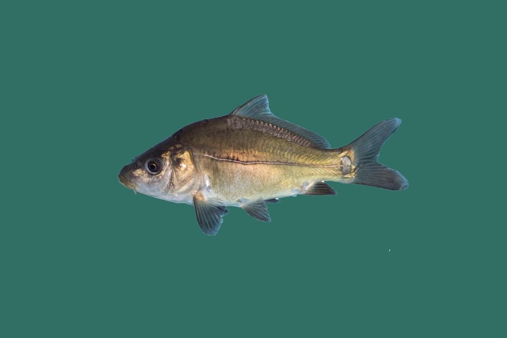 Spiegelkarpfen cyprinus carpio teichfische online for Teichfische versand