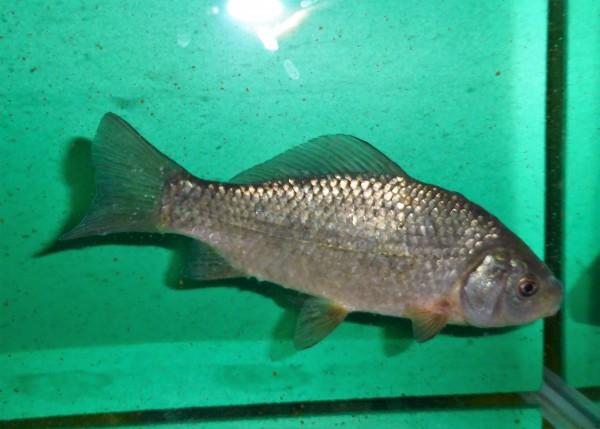 Karausche 9-12cm