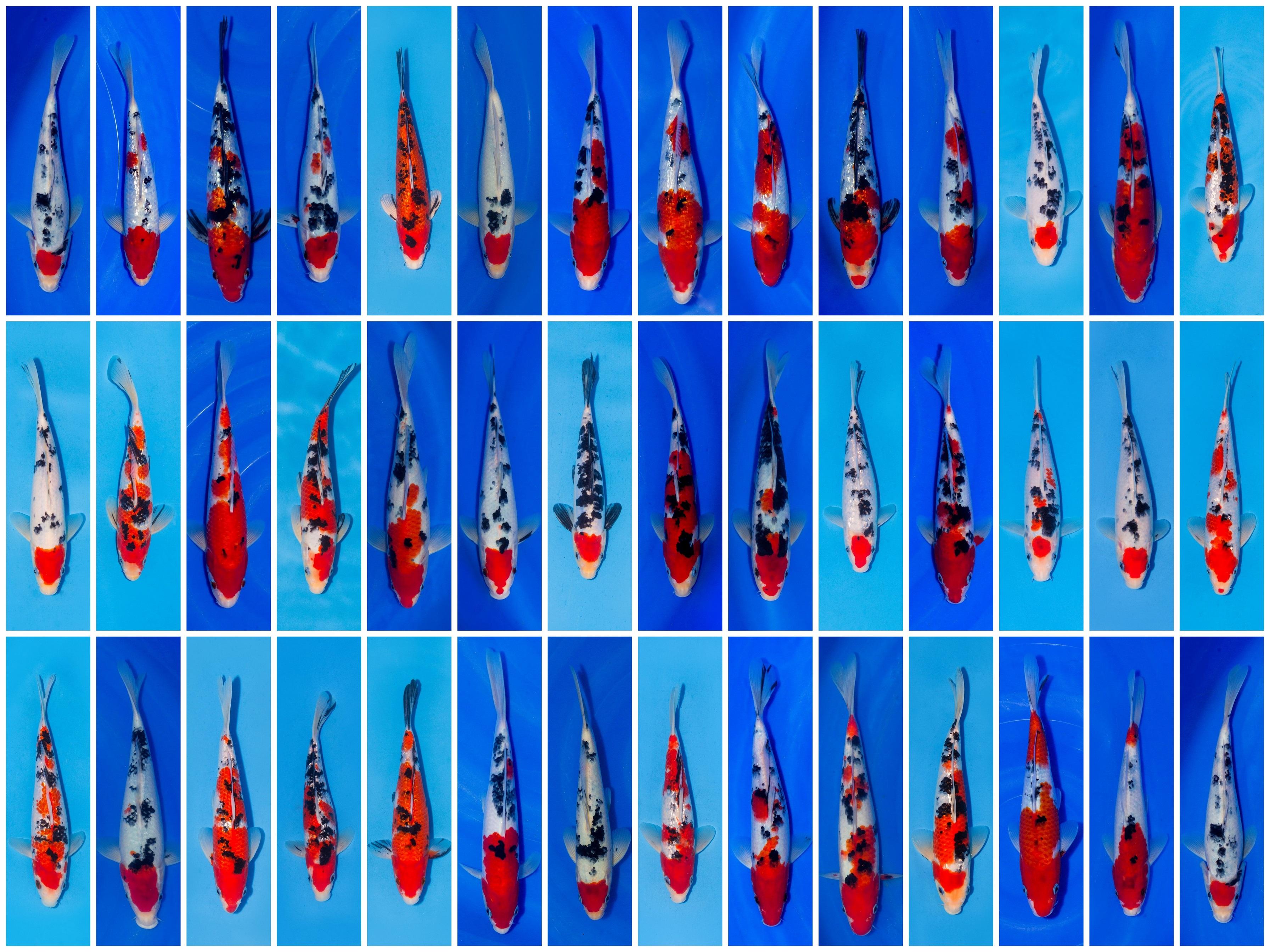 Koi teichfische online for Teichfische versand
