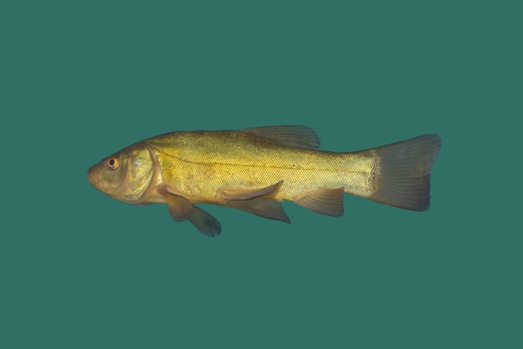 Schleie gr nschleie tinca tinca teichfische online for Teichfische versand