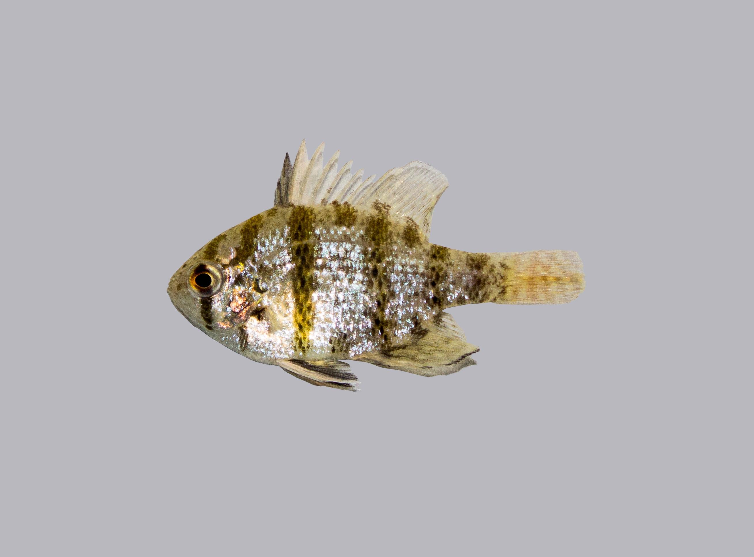Gemeiner sonnenbarsch lepomis gibbosus teichfische online for Teichfische versand