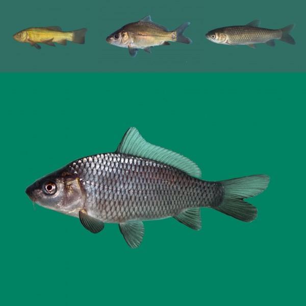 Besatzfisch Paket 10-15cm 40 Fische