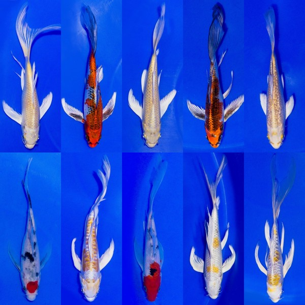 Butterfly Koi Farbmix 6-9cm